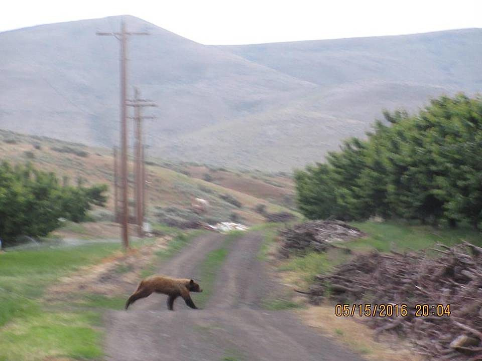 Things are getting beary weird in prosser for Department of fish and wildlife washington