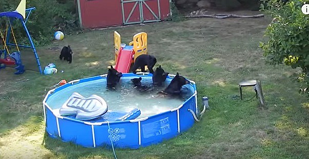 Family reacts to finding bears swimming in their backyard pool video