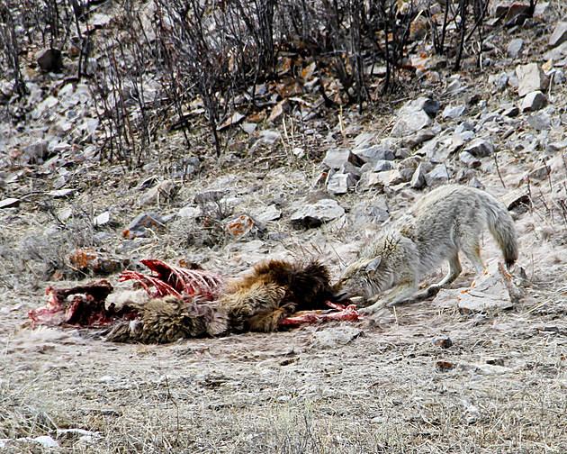 Coyote and kill